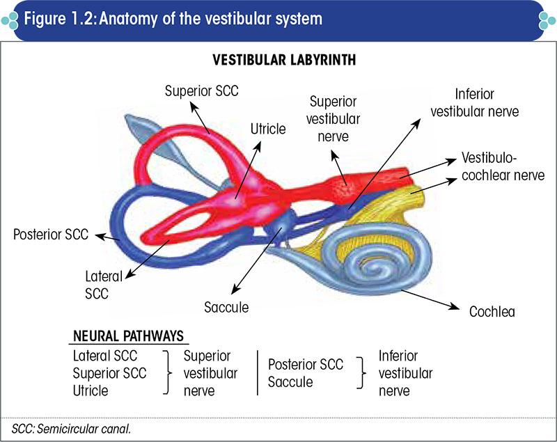 Anatomy of the vestibular system