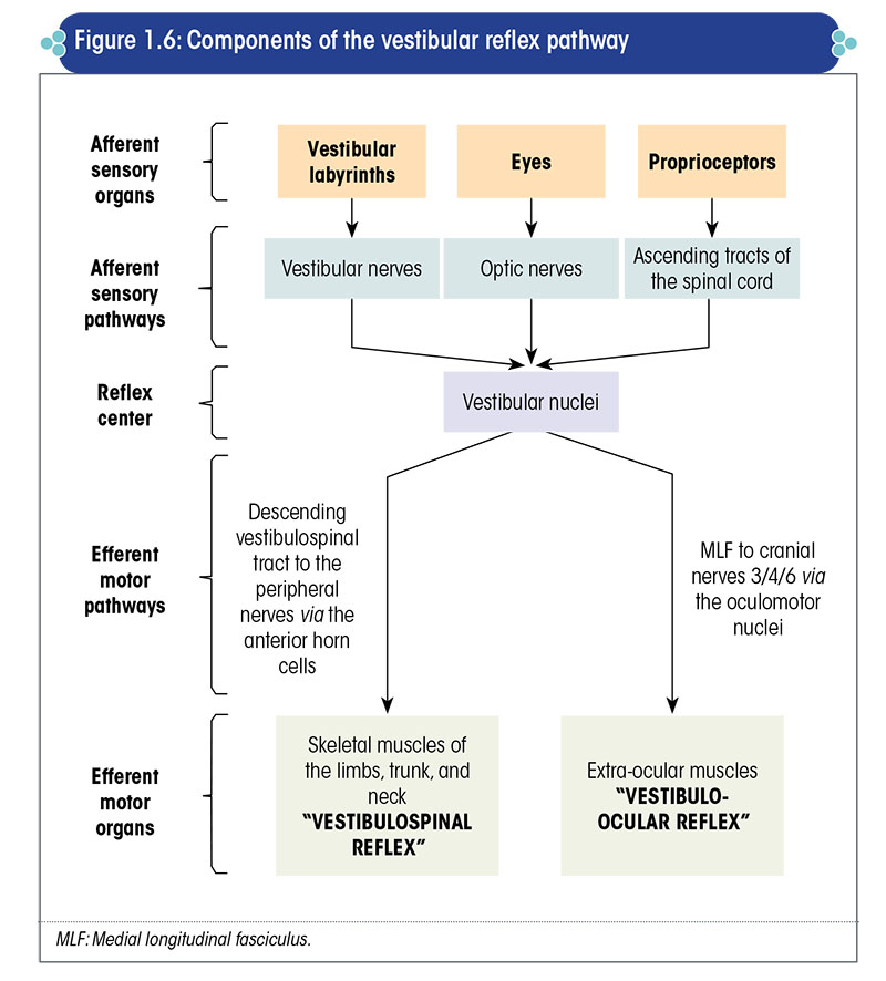 Components of the vestibular reflex pathway